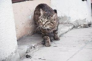 Голубая кошачья кровь - портал о животных WikiPet