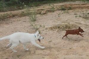 Блог щенка белой швейцарской овчарки: Весточка из-за Океана