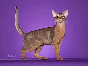 Абиссинская порода кошек — фото, описание породы и характера