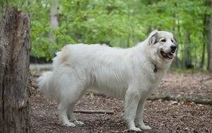 Аиди (Атласская овчарка): описание и характеристика породы, фото