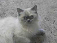 Гималайская кошка