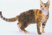 Американская жесткошерстная кошка фото, куплю, питомник