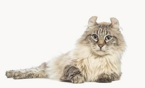 Американский керл — фото и описание породы кошек