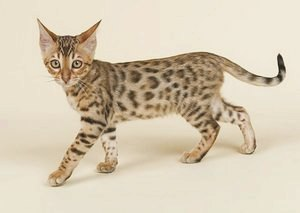 Ашера - порода кошек: фото, описание, уход
