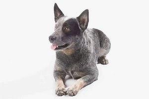 Австралийская пастушья собака (Австралийский хилер, Голубой хилер): описание породы, характер, фото