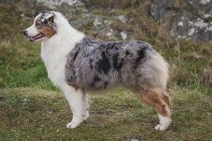 Австралийская овчарка: фото, описание породы, питомники