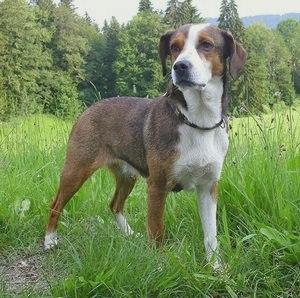 Австрийский короткошерстый пинчер: описание и характеристика породы, фото