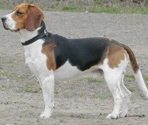 Бигль (Beagle) – описание породы с фото