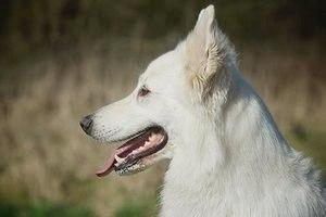 Бельгийская овчарка (англ. Belgian Sheepdog): фото, описание породы, содержание
