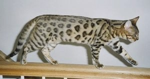 Бенгальская кошка – фото, описание породы, характер, питомники