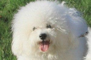 Бишон фризе: фото, видео, описание породы