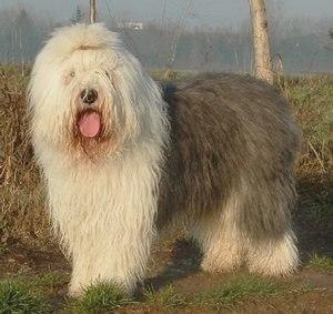 Бобтейл или староанглийская овчарка: описание породы и фото