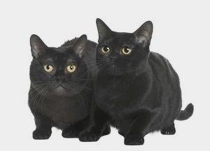 Бомбейская кошка: фото и описание породы