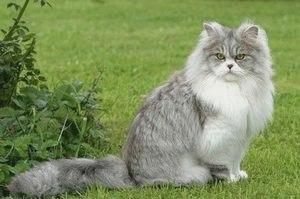 Британская длинношерстная — описание породы кошек, фото, купить в питомнике