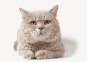 Британская короткошерстная кошка: фото и описание породы