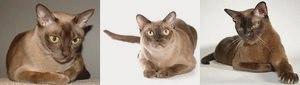 Бурманская кошка (Бурма): фото, описание породы, уход, окрасы, котята, питомники