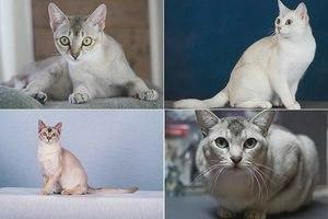 Бурмилла (порода кошек): фото, описание, уход и содержание