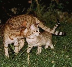 Канаани (порода кошек): фото, описание, интересные факты