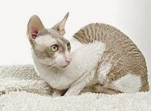 Корниш-рекс (порода кошек): фото, описание породы, питомники