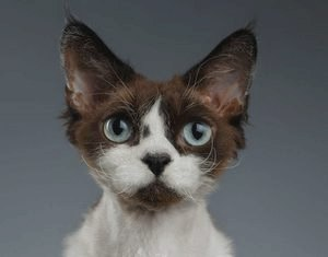 Девон-рекс: описание породы кошек, фото, питомники