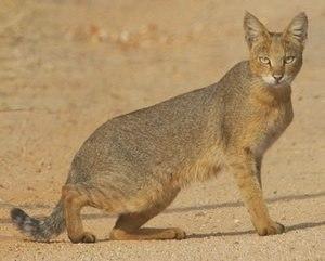 Чаузи (порода кошек): фото, описание, интересные факты