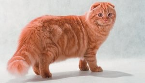 Шотландская длинношерстная вислоухая кошка (Хайленд-фолд): фото и описание породы