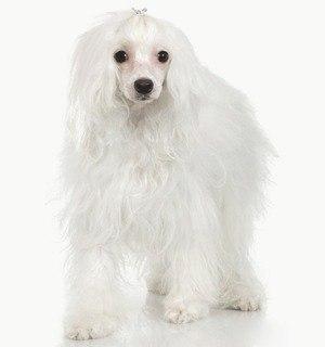 Китайская хохлатая собака: описание породы, содержание, фото, интересные факты