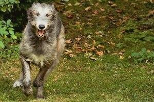 Ирландский волкодав: описание породы, фото, интересные факты