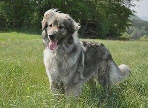 Карстская (Крашская) овчарка