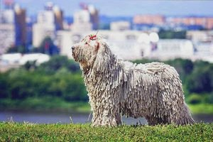 Комондор (венгерская овчарка): описание породы, фото