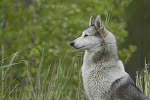 Лайки: виды, описание пород, фото