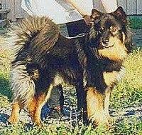 Лапландская оленегонная собака