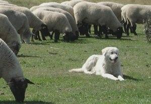 Маремма абруццкая овчарка или Маремма: описание породы, фото, питомники