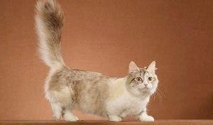 Манчкин (порода кошек): фото, описание породы (кошка-такса, кошка с короткими лапами)