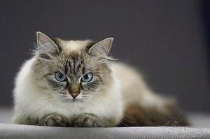 Невская маскарадная кошка – описание породы, фото, уход и содержание