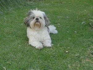 Порода собак ОДИС: фото, содержание, описание