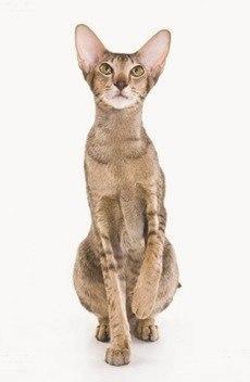 Ориентальная кошка: фото, характер, описание породы, уход и содержание кошки ориентальной породы