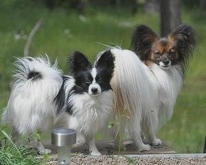 Папильон: фото, описание породы, содержание и уход, питомники и где купить щенка папильона