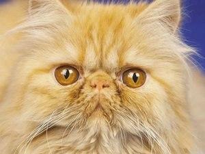 Персидская кошка: фото, описание породы, купить персидскую кошку, объявления с фото