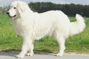 Подгалянская (татранская) овчарка: описание породы, фото
