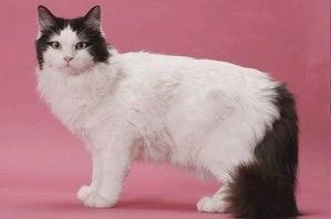 Рагамаффин (порода кошек): фото, описание породы, объявления где купить