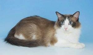 Рэгдолл (порода кошек): фото, описание породы, уход и содержание
