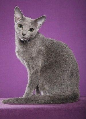 Русская голубая кошка: описание породы, фото и видео