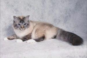 Священная бирманская кошка (священная бирма): фото и описание породы