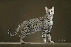Саванна (порода кошек): описание, фото, интересные факты