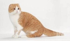 Шотландская вислоухая кошка (Скотиш фолд)