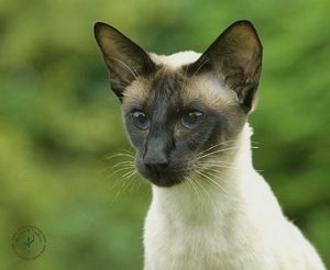 Сиамская кошка