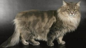 Сибирская кошка: описание породы, фото, питомники и объявления