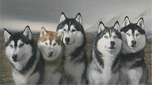 Сибирский хаски: фото, описание характера породы и содержания