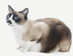 Сноу-шу: фото и описание породы кошек, объявления и питомники